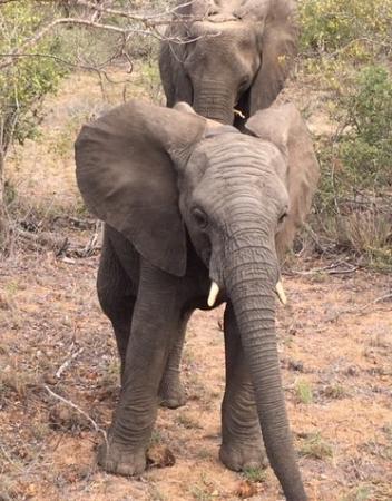 Timbavati Private Nature Reserve, Afrika Selatan: Brave little fella!
