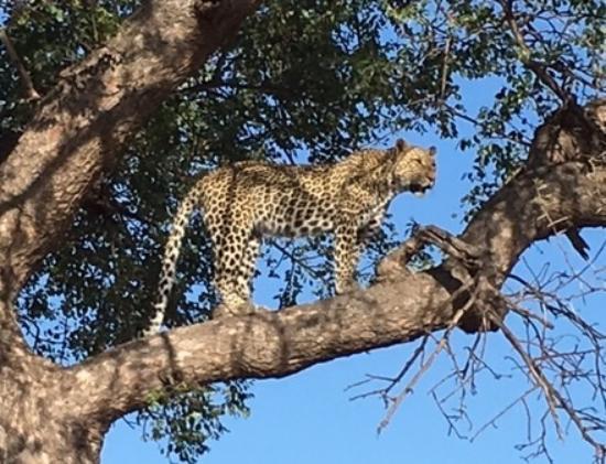 Timbavati Private Nature Reserve, Afrika Selatan: Leopard in a tree!
