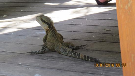 Currumbin, Australia: a garden lizard walks along with us near the eateries for food
