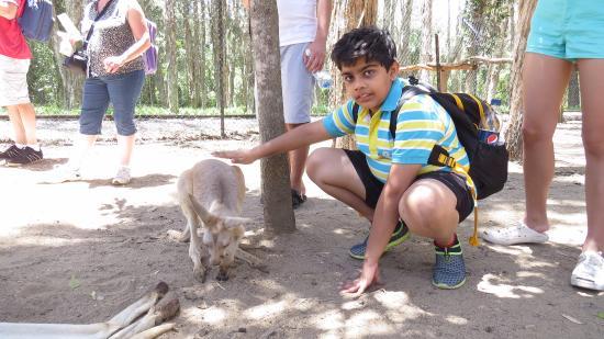 Currumbin, ออสเตรเลีย: kangaroos walking along with us