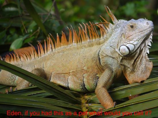 Hotel Ciudad Real Palenque: Iguana
