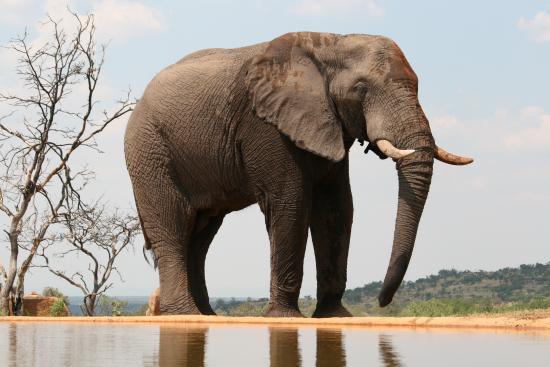 Welgevonden Game Reserve, Sudáfrica: Elephant at the Waterhole