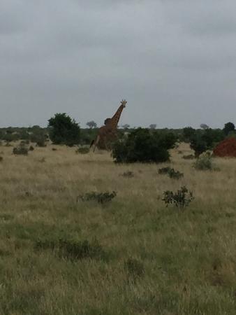 Tsavo National Park East, Kenia: giraffa