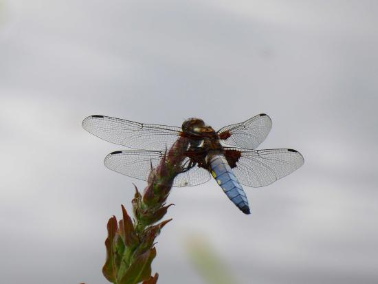 Ilminster, UK: Pond Dragonfly