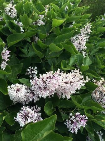 Woodland, WA: Lilacs