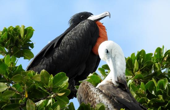 magnificent frigate bird picture of mexico kan tours tulum