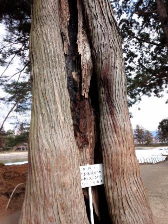 毛越寺, 巨木がたくさんあります
