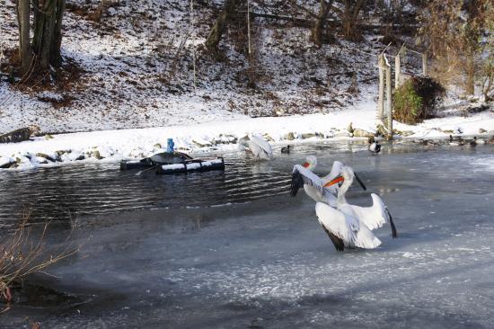 Stubenberg am See, Österreich: Пеликаны