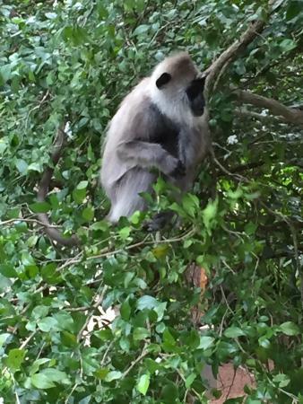 Hotel Sigiriya: Monkeys outside the room