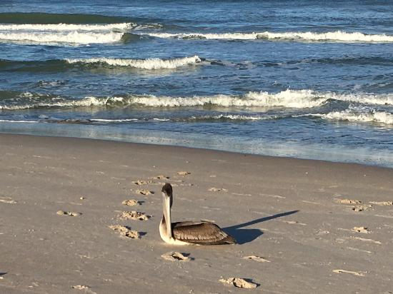 Canaveral National Seashore: Brown pelican