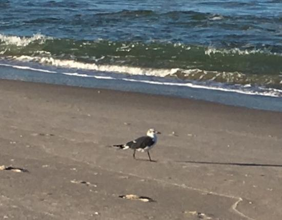 Canaveral National Seashore: Seagull...not sure what kind