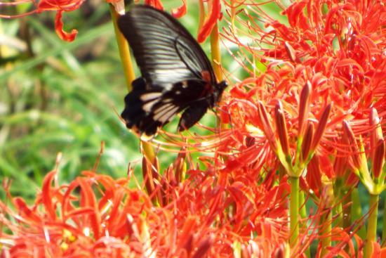 【黒い蝶】種類からスピリチュアルな意味まで完全解説