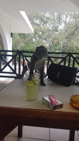 Diani Sea Resort: naughty monkey