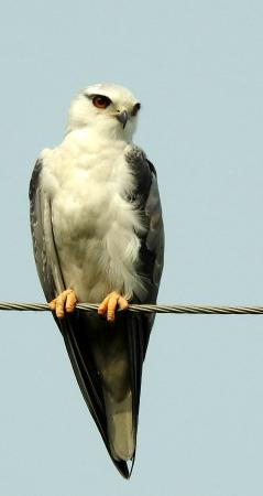 Jhajjar, India: Black shouldered Kite at Bhindawas Bird Sanctuary