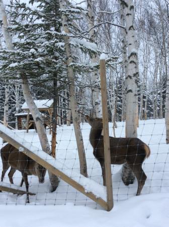 Sainte-Rose-du-Nord, แคนาดา: les cerfs rouges sur le site