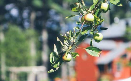 The Old Saco Inn : Apple trees