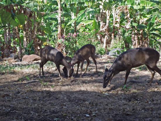 Altagracia, Nicaragua: Venados