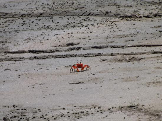 Nicoya, Costa Rica: Crabs on the beach