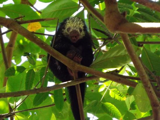 Nicoya, Коста-Рика: A porcupine in the trees