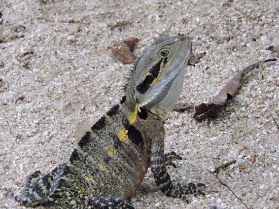 Daintree, Австралия: Water dragon