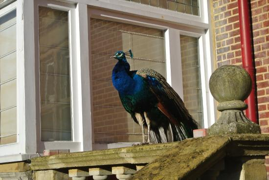 Tring, UK: One of the resident peacocks