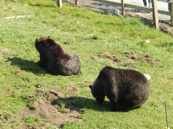 "North Vancouver, Kanada: Urso marrom "" muito grande """
