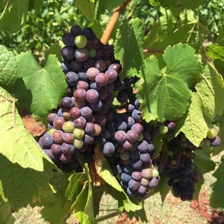 Seville, ออสเตรเลีย: Veraison happening in the Pinot block