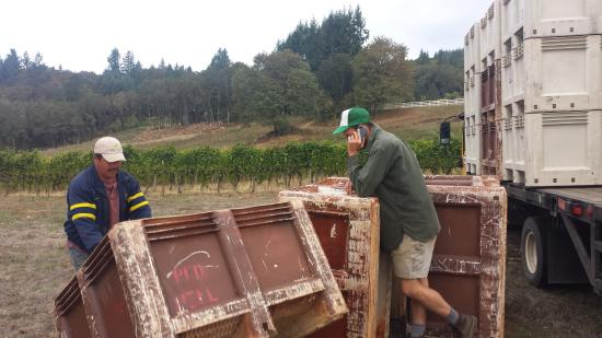 Yamhill, OR: 2015 Harvest