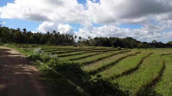 Bohol Province, Filippine: Rice fields