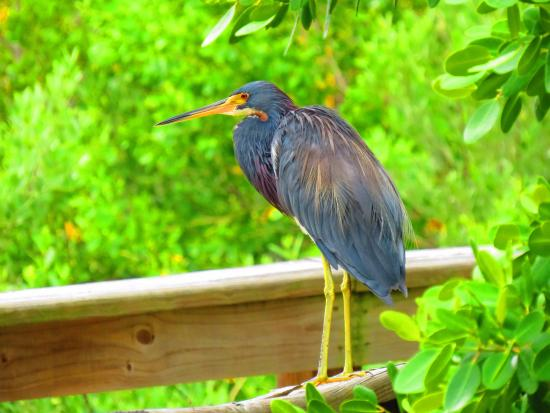 Bradenton, Φλόριντα: Uma reserva fantástica com trilhas lindas e uma diversidade incrível de aves.
