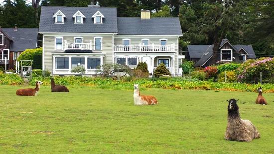 Glendeven Inn Mendocino : Glendeven Llamas