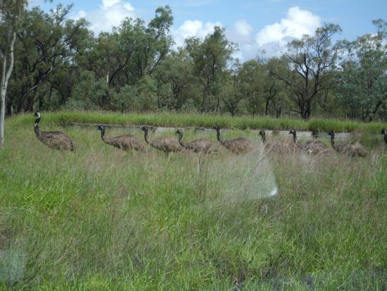 Hughenden, Australië: Family of Emu in the wild on the Overlander route, Australia