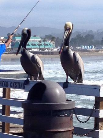 Ocean Palms Motel : Pelicans on pier