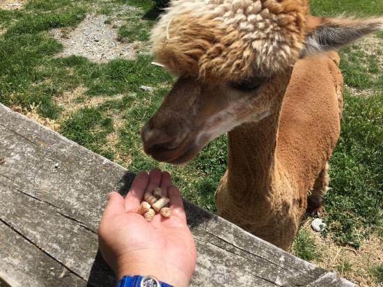 Queenstown, Nya Zeeland: 喂羊驼