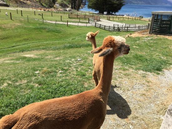 Queenstown, Nya Zeeland: 羊驼被剪了毛,只留流海了!