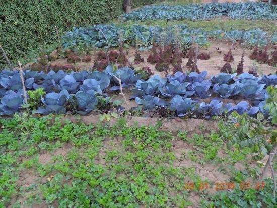 fresh leafy vegetables being grown in the hotel backyard for use in rh tripadvisor com