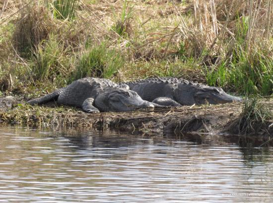 Micanopy, FL: Lots of gators along the trails La Chua Trail at Paynes Prairie