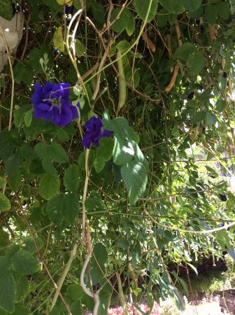 Nevis: Butterfly pea plant