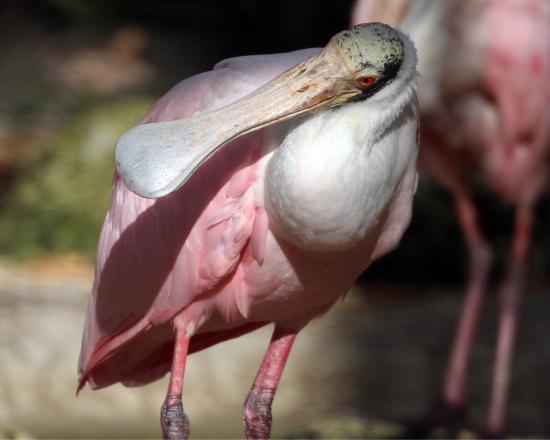 Омосасса-Спрингз, Флорида: Always Manatees to see.  Lots of birds too