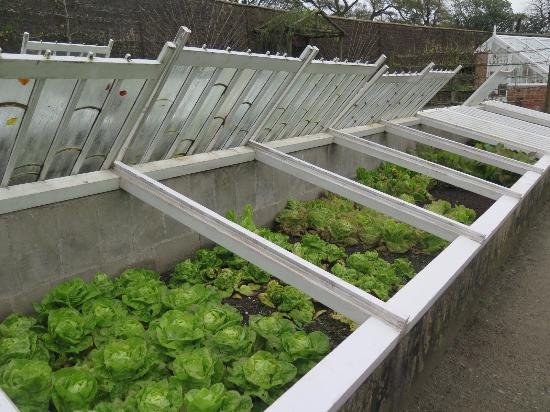 St Austell, UK: Fall lettuce in cold frames