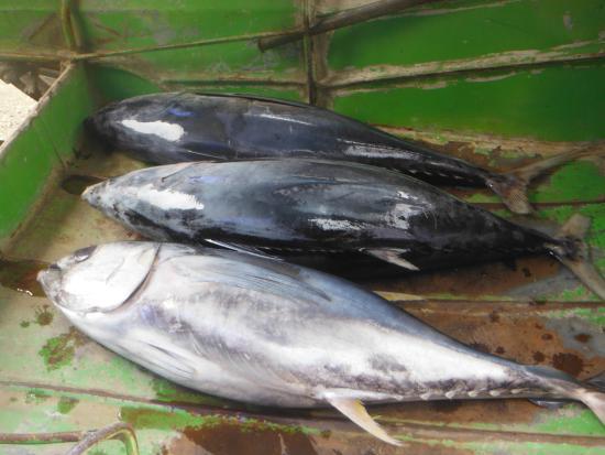 Visayan-øerne, Filippinerne: Small tuna San Angel Antique Philippines.
