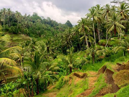 Kerobokan, Indonésie : Tarasy ryżowe