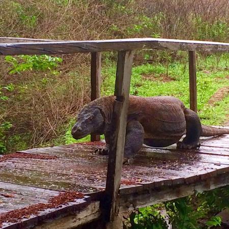 Komodo Mega Tours - Day Tours: We saw this Komodo dragon walking across the footbridge on Komodo Island.