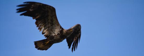 Poland, ME: A juvenile bald eagle soaring past the Wolf Cove Inn.