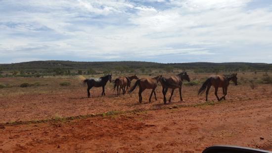 Northern Territory, Australien: Mitten im Outback, Wildpferde