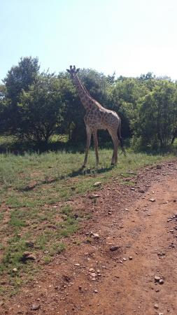 Hartbeespoort, แอฟริกาใต้: We got even closer to the giraffe than it looks on the photo, since we were on horses :)