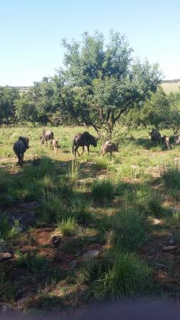 Hartbeespoort, แอฟริกาใต้: I loved the Gnu's - such wonderful animals