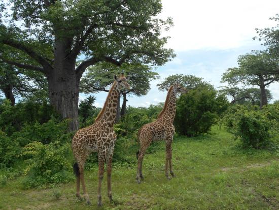 Ruaha National Park照片