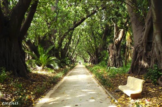 le jardin dessai du hamma alle de ficus - Allee De Jardin