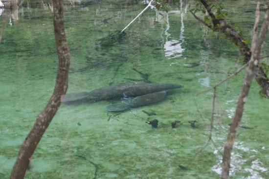 Orange City, FL: Manatee and calf